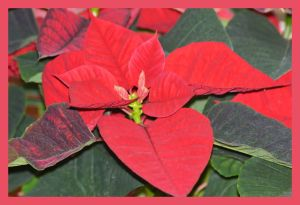 floarea poinsettia