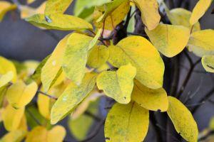 frunze galbene de gutui