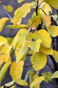 frunze galbene