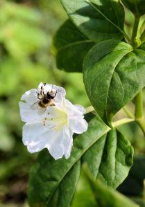 albina pe o floare alba