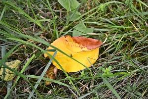 frunza cazuta