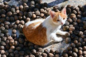 pisica in nuci