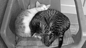 pisici alb negru