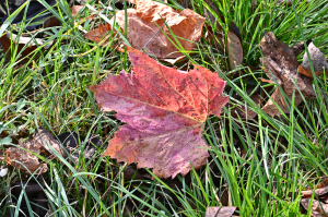 frunza de vita cazuta