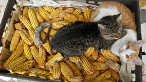pisici in lada cu porumb