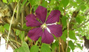 flower-star