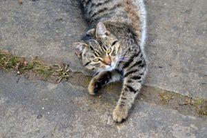 pisica1