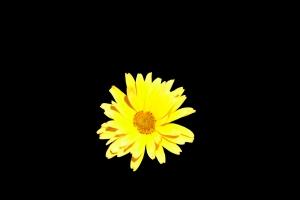 floare galbena pe fond negru