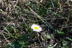 floare-primavara