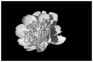 bujor-alb-negru-1