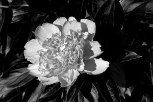bujor-alb-negru