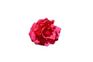 trandafir-rosu-pe-fond-alb
