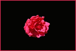 trandafir-rosu-pe-fond-negru-1