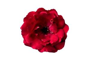 trandafirul-rosu-pictura-in-ulei