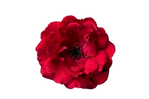 trandafirul-rosu