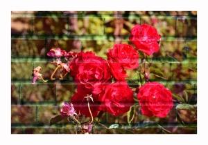 trandafiri-cu-textura