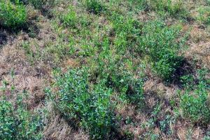 lucerna si iarba uscata (2)
