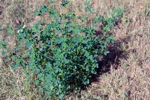 lucerna si iarba uscata (4)